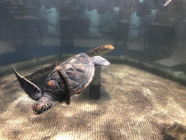 奄美海洋展示館の赤ちゃんウミガメ