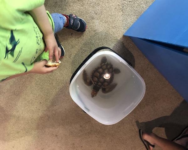 水槽掃除中〜赤ちゃんウミガメが足元に