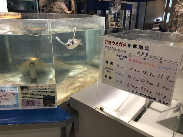 奄美海洋展示館の赤ちゃんウミガメの水槽